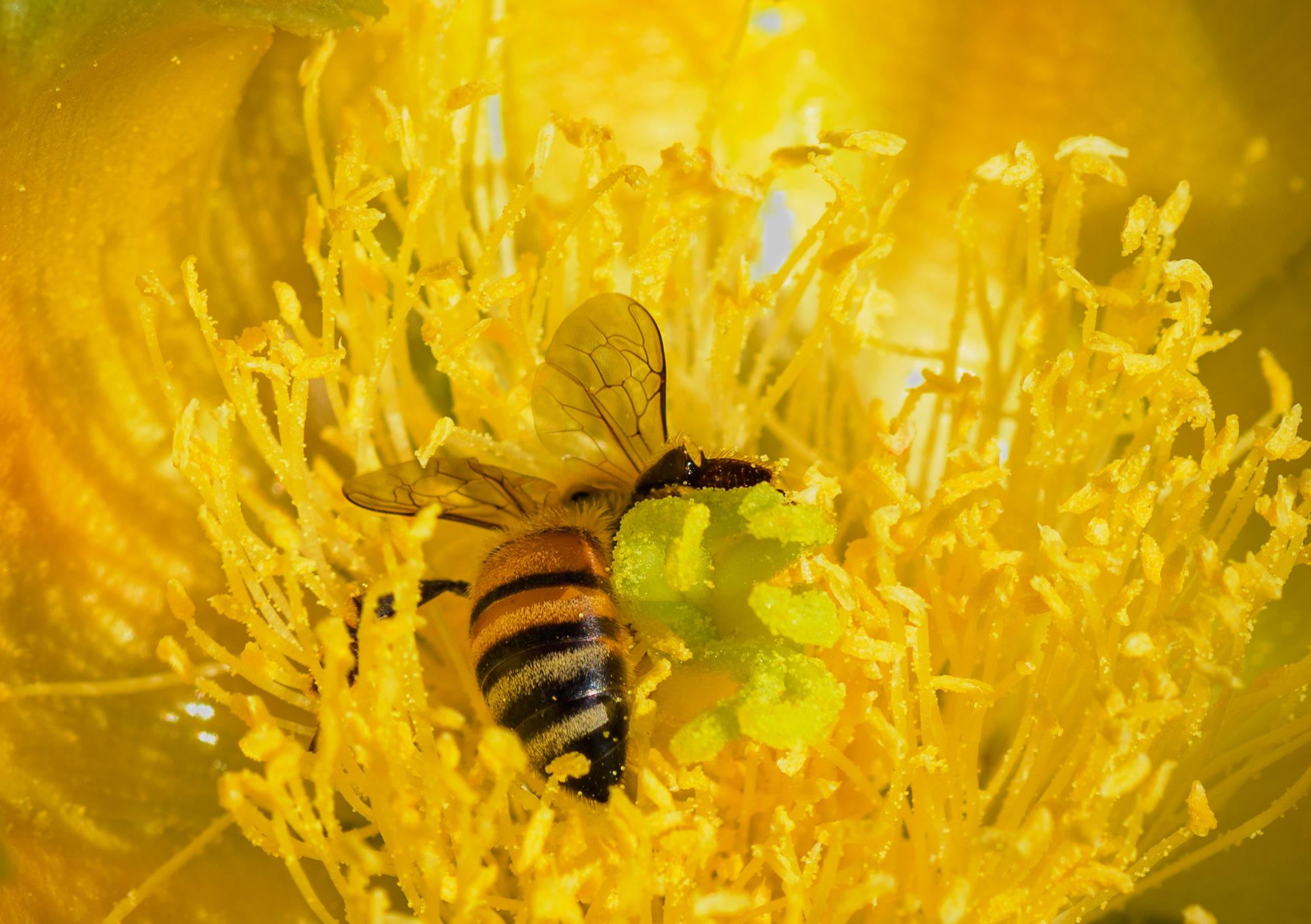 Bee Harvesting